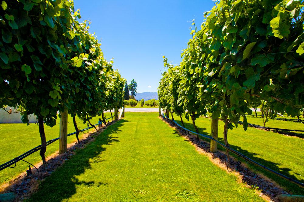 葡萄种植.jpg