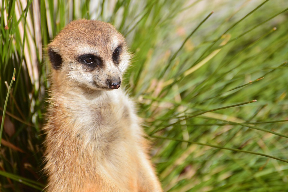 meerkat-284284_960_720.jpg